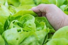 Chiuda su della lattuga crescente dell'insalata con il raccolto della mano nella verdura Fotografie Stock Libere da Diritti