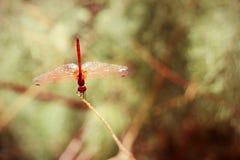 Chiuda su della libellula rossa che riposa su un ramo Fotografie Stock Libere da Diritti