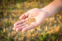 Chiuda su della mano di un uomo in pieno dei grani del grano Giacimento di grano raccolto nei precedenti Fotografia Stock