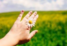 Chiuda su della mano femminile con la margherita contro il campo ed il cielo blu vivi dell'estate fotografia stock