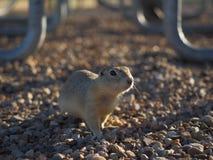 Chiuda su della marmotta che esamina la macchina fotografica Immagini Stock