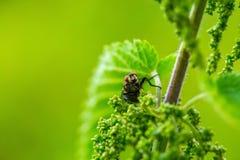 Chiuda su della mosca che si siede sulla pianta Fotografia Stock
