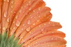 Chiuda su della a nell'ambito del lato di un fiore arancio di Gerber Fotografia Stock