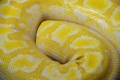 Chiuda su della pelle di serpente Immagine Stock Libera da Diritti