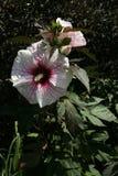 Chiuda su della petunia venata rosso-cupo Fotografia Stock Libera da Diritti