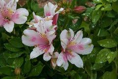 Chiuda su della pianta del fiore di alstroemeria nel giardino Fotografie Stock Libere da Diritti