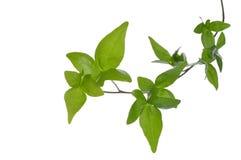 Chiuda su della pianta dell'edera isolata. Fotografie Stock Libere da Diritti