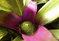 Chiuda su della pianta di bromeliacea Immagini Stock