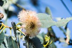 Chiuda su della pianta di diversifolia dell'eucalyptus di mallee del sapone fotografie stock libere da diritti