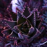 Chiuda su della pianta di vera dell'aloe del cactus Immagine Stock