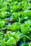 Chiuda su della pianta verde fresca della lattuga che cresce nell'agricoltura lontano Fotografia Stock