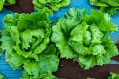 Chiuda su della pianta verde fresca della lattuga che cresce nell'agricoltura lontano Fotografie Stock