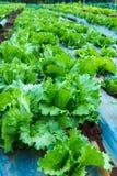 Chiuda su della pianta verde fresca della lattuga che cresce nell'agricoltura lontano Fotografie Stock Libere da Diritti