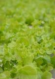 Chiuda su della piantagione delle verdure della lattuga di foglia Fotografie Stock