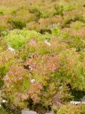 Chiuda su della piantagione delle verdure della lattuga di foglia del corallo rosso Immagine Stock Libera da Diritti