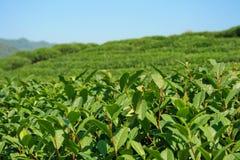 Chiuda in su della piantagione di tè della montagna Fotografia Stock