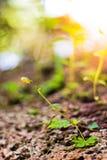 Chiuda su della piantina che germoglia dalla luce al suolo della plantula di mattina sul fondo della natura, la crescita in fores Fotografia Stock