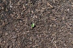Chiuda su della plantula che germoglia dalla terra Immagine Stock Libera da Diritti