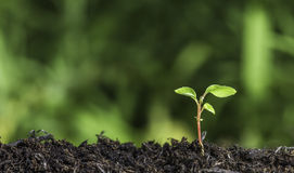 Chiuda su della plantula che germoglia dalla terra con il fondo verde del bokeh Fotografie Stock Libere da Diritti