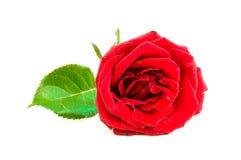 Chiuda su della rosa rossa su fondo bianco, fuoco selettivo Immagini Stock Libere da Diritti