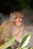 Chiuda in su della scimmia che si nasconde dietro le piante Fotografia Stock Libera da Diritti