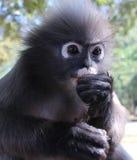 Chiuda su della scimmia del primate del langur che mangia mentre impediscono di entrare un occhio per le minacce e gli ospiti Fotografia Stock Libera da Diritti