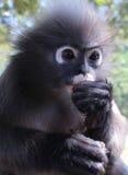 Chiuda su della scimmia del primate del langur che mangia mentre impediscono di entrare un occhio per le minacce e gli ospiti Immagine Stock Libera da Diritti