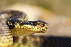 Chiuda su della testa blotched del serpente fotografia stock