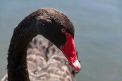 Chiuda su della testa del cigno nero con il becco e gli occhi rossi fotografie stock