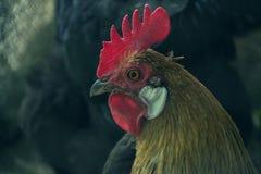 Chiuda su della testa del gallo dorato che sta sul cortile rurale tradizionale di mattina Ritratto di Phoenix a coda lunga variop Fotografie Stock Libere da Diritti