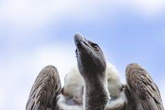 Chiuda su della testa di Griffon Vulture, il fulvus dei Gyps, avvoltoio, con il suoi grande becco e bello 1 impiegatizio immagine stock libera da diritti