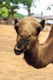 Chiuda su della testa di un cammello Fotografie Stock Libere da Diritti