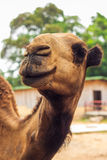 Chiuda su della testa di un cammello Immagini Stock