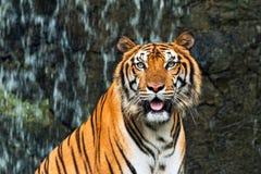 Chiuda su della tigre tra l'India e la Cina che si siede davanti alla cascata e che esamina la macchina fotografica Immagine Stock Libera da Diritti