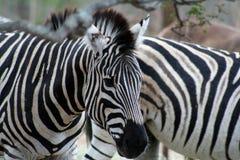 Chiuda su della zebra Fotografie Stock Libere da Diritti