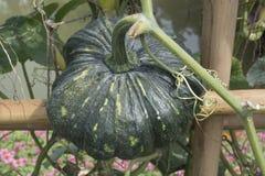 Chiuda su della zucca verde nell'agricoltura biologica Fotografia Stock Libera da Diritti