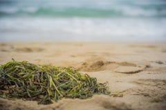 Chiuda su delle alghe sulla sabbia della spiaggia Fotografia Stock Libera da Diritti