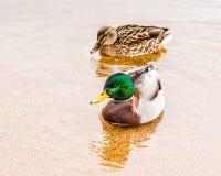 Chiuda su delle anatre maschii e femminili del germano reale che nuotano insieme sul lago Skaha immagine stock