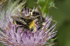 Chiuda su delle api del miele, api Immagine Stock Libera da Diritti