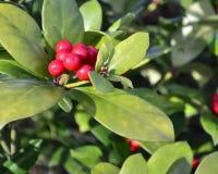 Chiuda su delle bacche e delle foglie verdi rosse al sole Fotografia Stock Libera da Diritti
