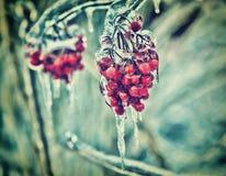 Chiuda su delle bacche rosse congelate su un albero - retro Fotografia Stock