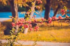 Chiuda su delle bacche rosse luminose del pyracantha sull'albero Immagini Stock