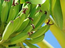 Chiuda su delle banane verdi sul banano Fotografia Stock Libera da Diritti