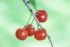 Chiuda su delle ciliege rosse sul ramo Immagini Stock Libere da Diritti