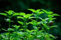Chiuda in su delle erbe del basilico Fotografia Stock Libera da Diritti