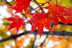 Chiuda su delle foglie di acero rosse nel ramo degli alberi durante la stagione di autunno Fotografie Stock Libere da Diritti