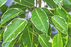 Chiuda su delle foglie e delle gocce di acqua verde intenso Immagini Stock Libere da Diritti