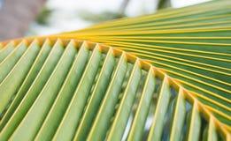 Chiuda su delle foglie tropicali delle palme Immagine Stock