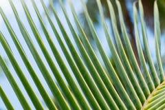 Chiuda su delle foglie tropicali delle palme Fotografia Stock