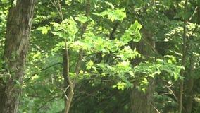 Chiuda su delle foglie verdi (3 di 4) stock footage